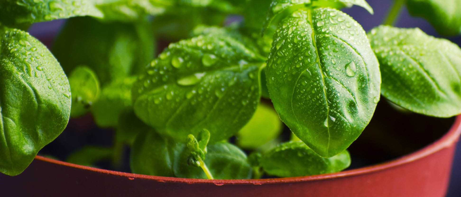 Close up photo of a sweet basil plant with dewdrops of water on the leaves.