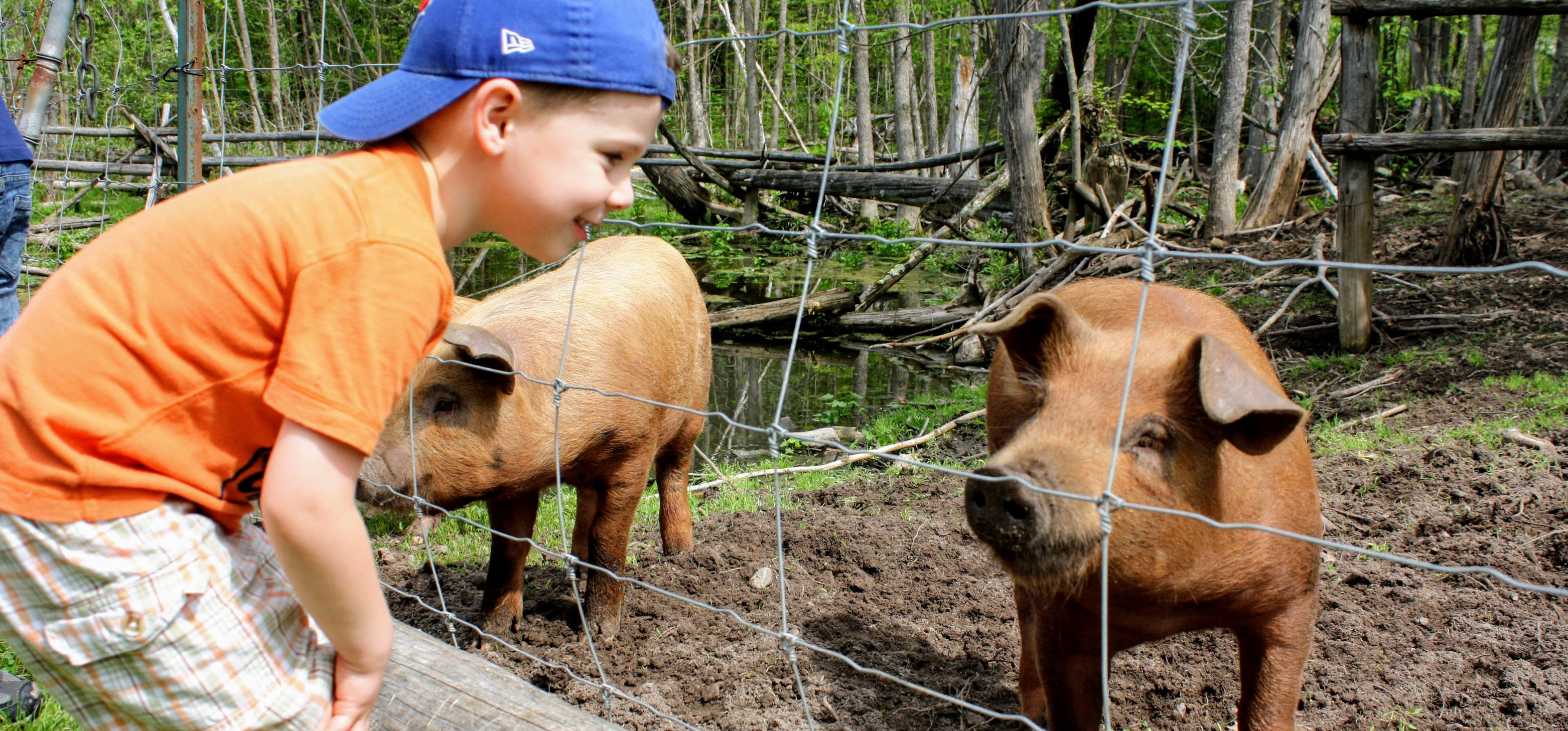 Little boy looking at farm pigs and smiling