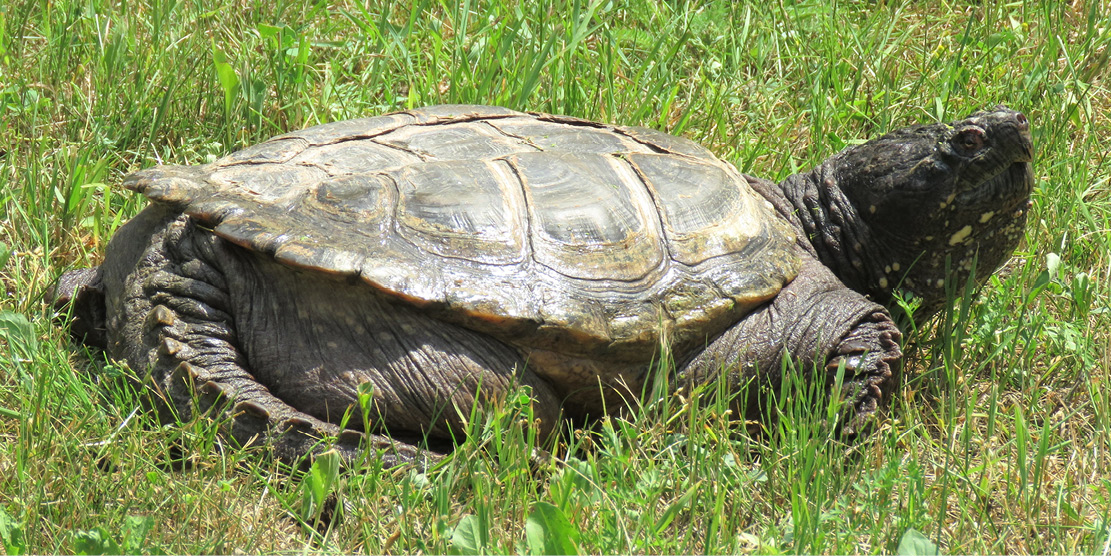 Photo of large turtle; Ontario Turtle Conservation Centre; part of Viamede Resort's summer recreation programming