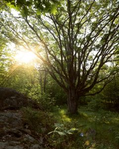 Viking Oak on the Stoney Lake Trails, Kawarthas; Viamede Resort