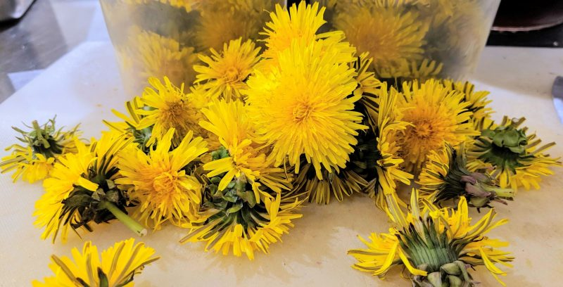 Dandelions; foraged food; recipe for dandelion marmalade